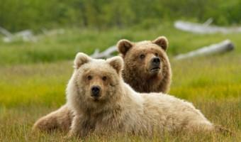 """DisneyNature: Neuer langer Trailer zu """"Bears"""" von den Machern von """"Schimpansen"""""""