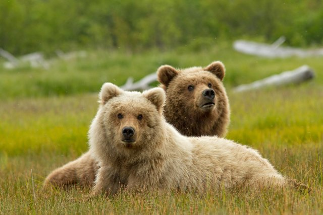 Bears, © DisneyNature